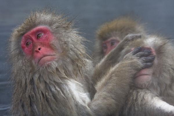Japanese macaque thoroughly cleaning another snow monkey - 日本