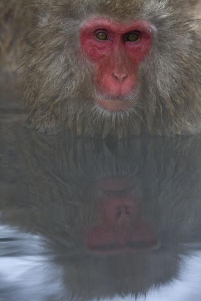 Snow monkey and reflection | Snow monkeys | Japan