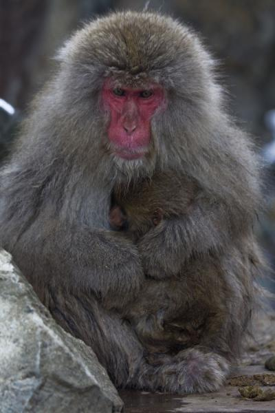 Japanese macaque with baby hiding from the cold - 日本