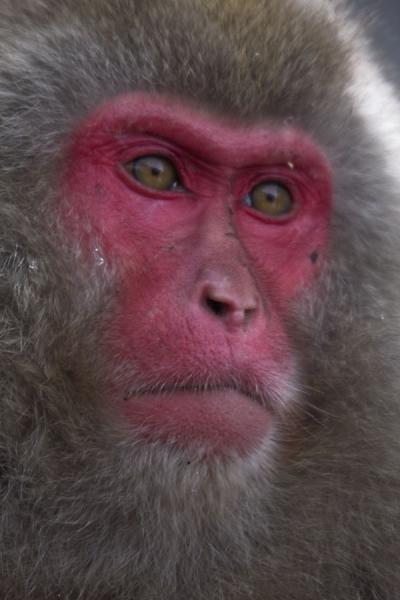 Facial view of snow monkey | Snow monkeys | Japan