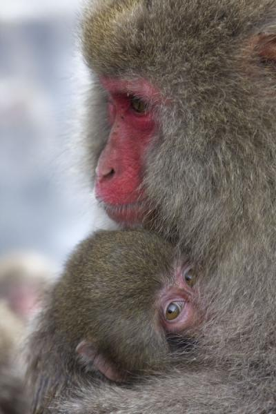 Macaque with baby at the hot bath - 日本
