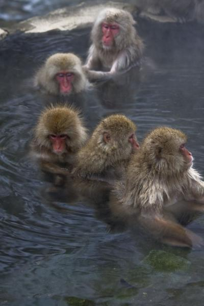 Group of snow monkeys getting rid of fleas - 日本