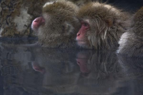 Snow monkeys in the hot bath - 日本