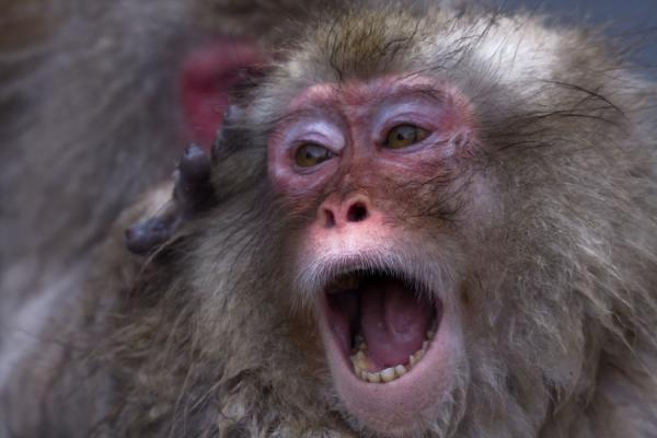 Young Japanese macaque in the process of being deflea-ed | Snow monkeys | Japan