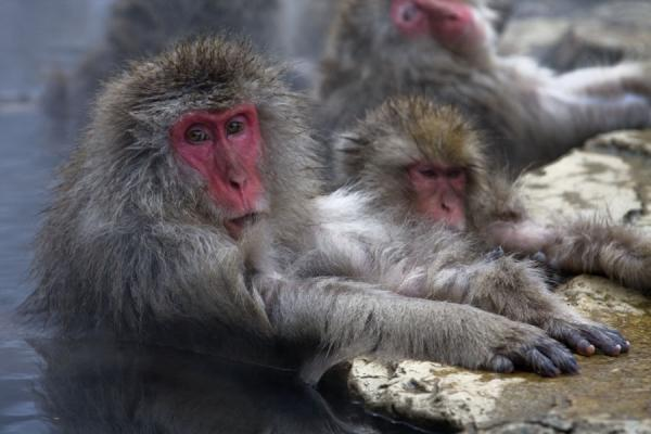 Japanese macaques with their paws on the rocks of the hot baths - 日本