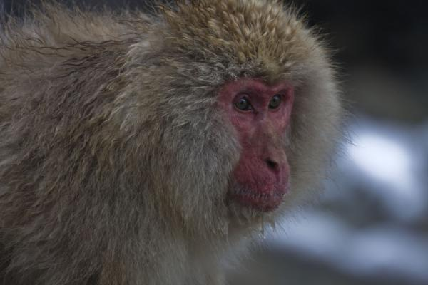 One of the many snow monkeys - 日本