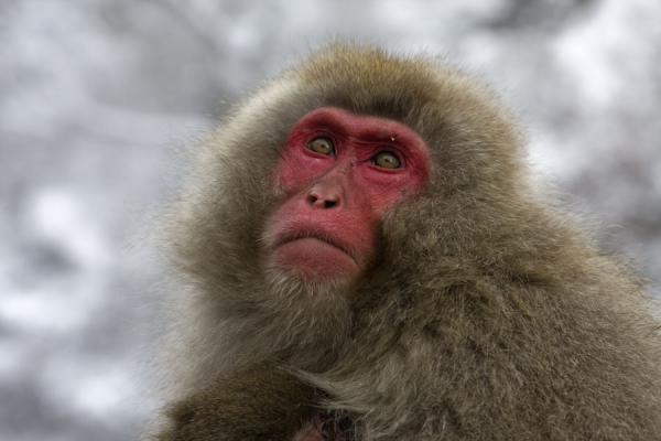 One of the snow monkeys staring into the distance | Snow monkeys | Japan