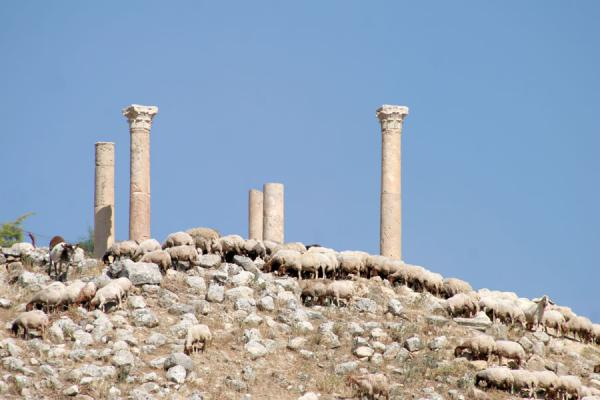Foto van Pella: sheep flocking around the East Church at the end of the day - Jordanië - Azië