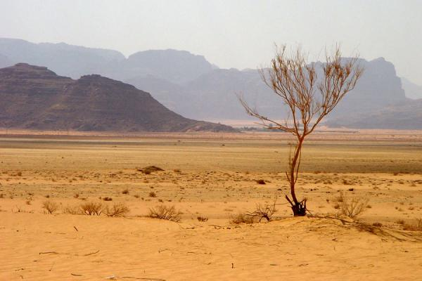 Foto van Wadi Rum: lone dry tree in one of the plains - Jordanië - Azië