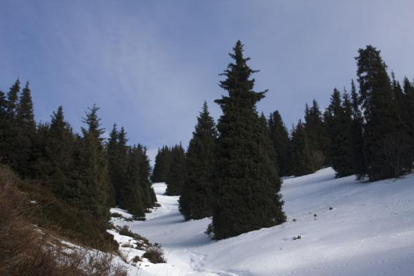 Trees in the snow on a slope in Kim-Asar valley | Kim-Asar hiking | Kazakhstan