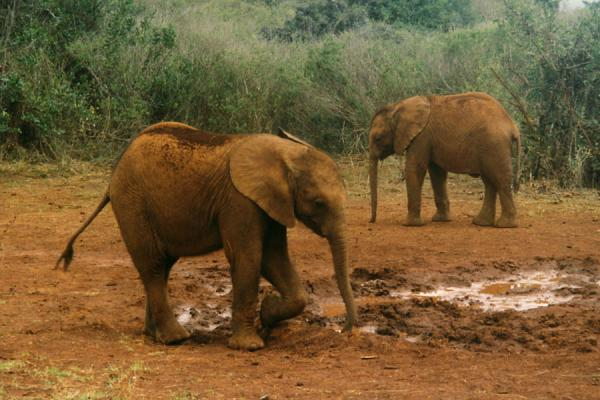Foto van Young elephants are as playful as any young animal.Olifanten - Kenia