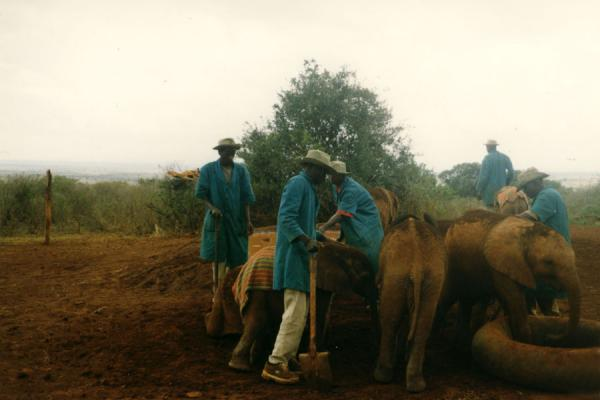 Picture of Guards taking care of the baby elephants - they even sleep with them!Elephants - Kenya