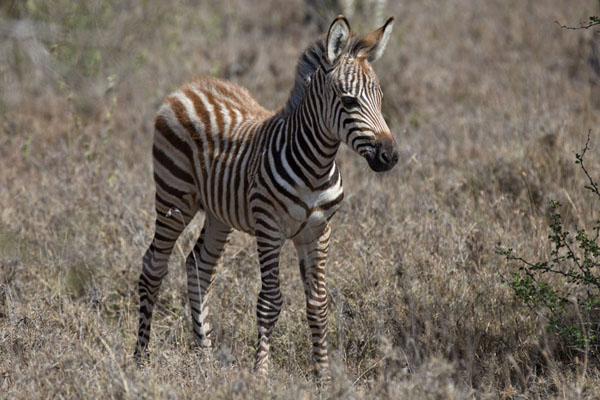 Young zebra with brown stripes in the park - 肯亚 - 非洲