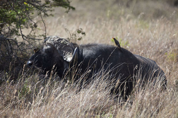 Buffalo with birds on its body | Nairobi National Park | Kenia
