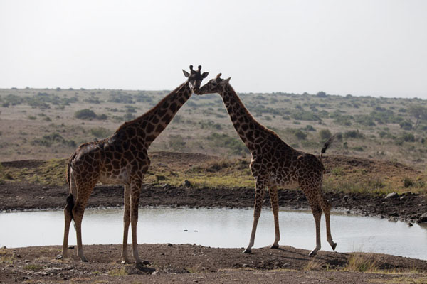 Foto van Two giraffes about to drink near a pool - Kenia - Afrika