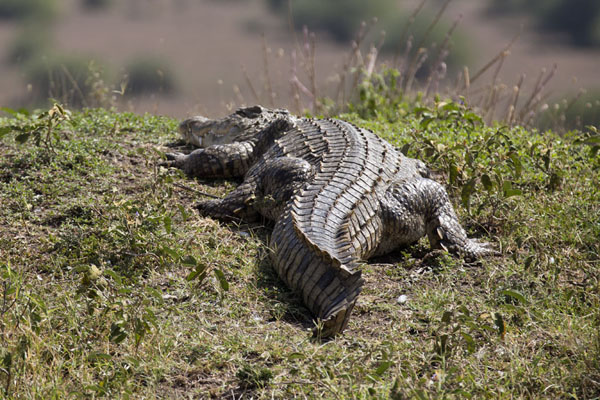 Foto van Lazy crocodile in the sun - Kenia - Afrika