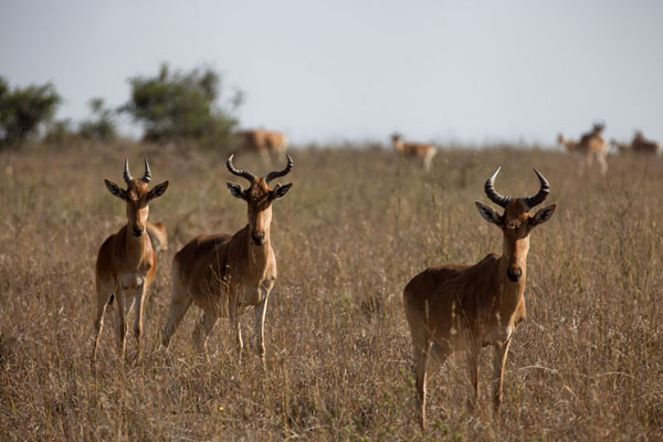 Picture of Nairobi National Park (Kenya): Careful eyes of a small group of kongoni in the park