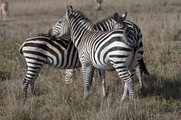 Picture of Zebras huddling together on the dry grass