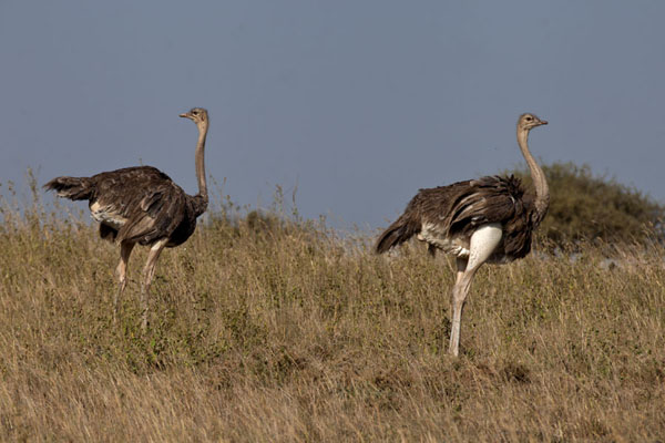 Foto van Ostrich going for a walk in the parkNairobi - Kenia