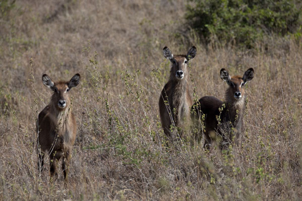 Foto van Vigilant waterbucks in the dry bush of the park - Kenia - Afrika