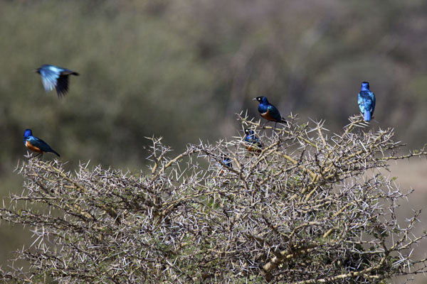 Foto van Blue birds in a bush in the national parkNairobi - Kenia