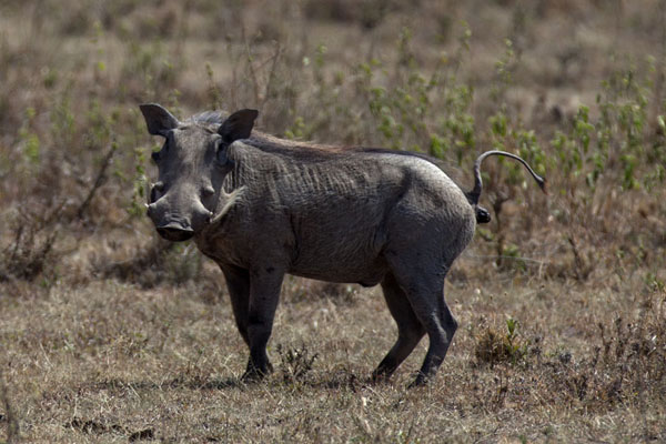 Foto van Warthog with a watchful eye - Kenia - Afrika