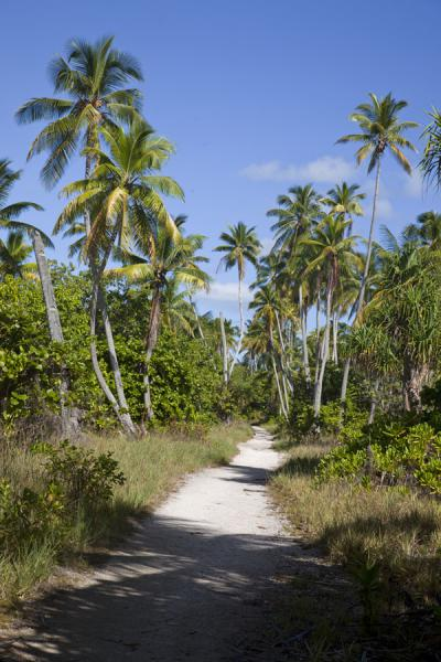 Picture of Trail on North Tarawa lined by tall palm trees - Kiribati - Oceania