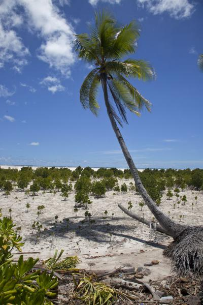 Foto van Palm tree with mangroves on temporary dry land with low tideNoord Tarawa - Kiribati