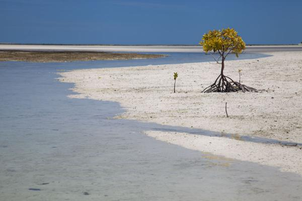Lone mangrove tree at low tide - 基里巴斯