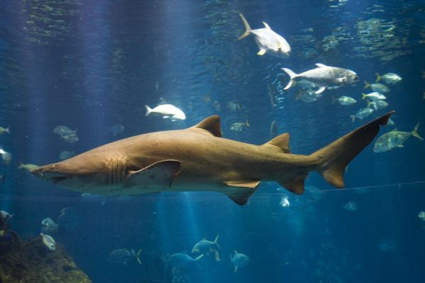 Big shark in the big tank of the aquarium of the Scientific Center | Scientific Center | Kuwait
