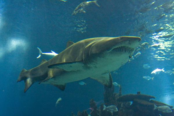 Foto de The biggest shark swimming around the big tank of the aquariumScientific Center - Kuwait