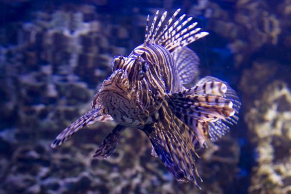 Lion fish showing off his beauty in the aquarium of the Scientific Center | Scientific Center | Kuwait