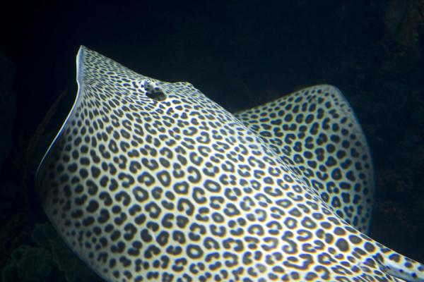 Picture of Spotted ray flapping his wings in the aquarium of the Scientific Center