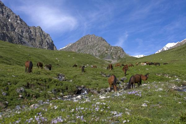 Horses roaming free near the stream coming down from Ala-Köl pass | Ala-Köl hike | Kirgizië
