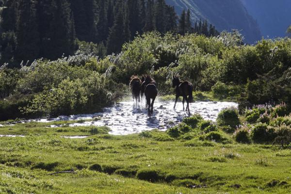 Picture of Horses on the run through Ak-Suu river