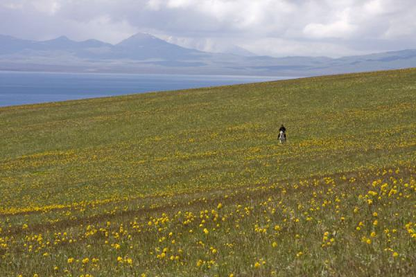 Foto de Kyrgyz rider in a flowery field near Song-KölLago Song-Köl - Kirguistán