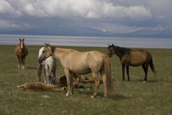 Picture of Kyrgyz horses in the pastures near Song-Köl