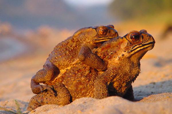 Picture of Mating frogs on Mekong River bank