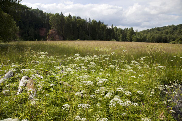 Foto van Field with flowers bordered by trees near Amata riverKārļi - Letland