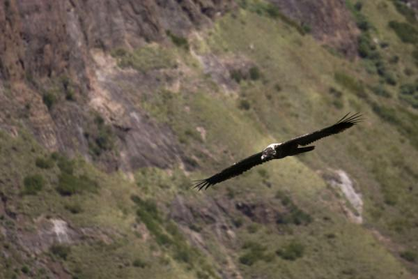 Eagle circling over the Maletunyane river canyon | Semonkong hiking | 赖索托