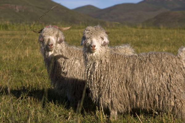 Foto de Sheep with long hairs in the hills near SemonkongSemonkong - Lesoto
