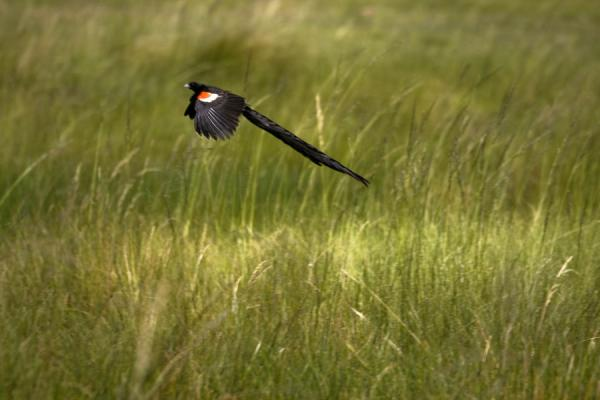 Foto di Long-tailed widow bird flying low - Lesotho - Africa