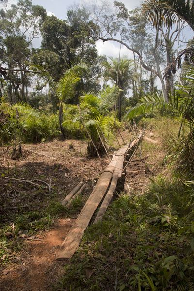 Wooden walkway through the jungle near Kinjor | Kinjor Town | Liberia