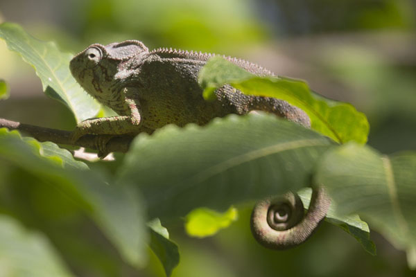 Foto van Chameleon in the forest near Anja - Madagaskar - Afrika