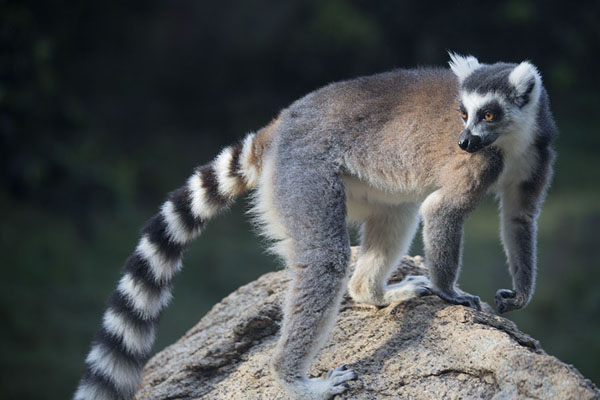 Picture of Lemur catta, or ringtailed lemur, on a rock in the reserve of AnjaLemurs - Madagascar