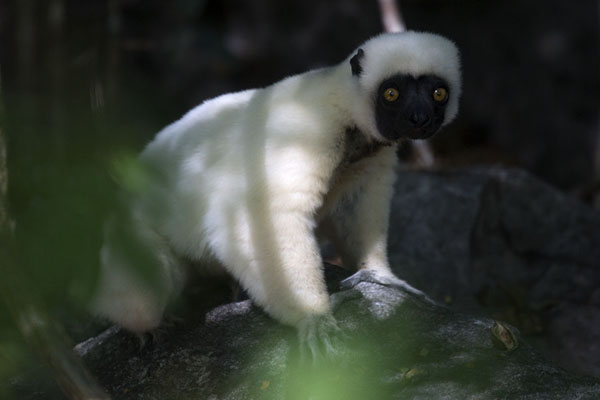 Photo de Decken's sifaka on the ground in the Great Tsingy forestLémuriens - Madagascar