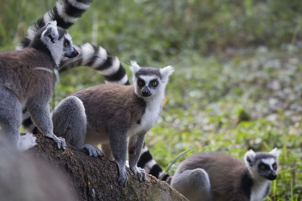 Photo de Group of ringtailed lemurs in the reserve of AnjaLémuriens - Madagascar