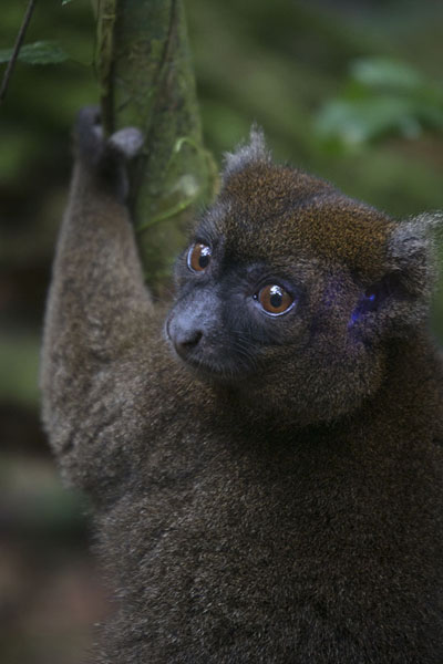 Foto van Greater bamboo lemur in a tree in Ranomafana National Park - Madagaskar - Afrika