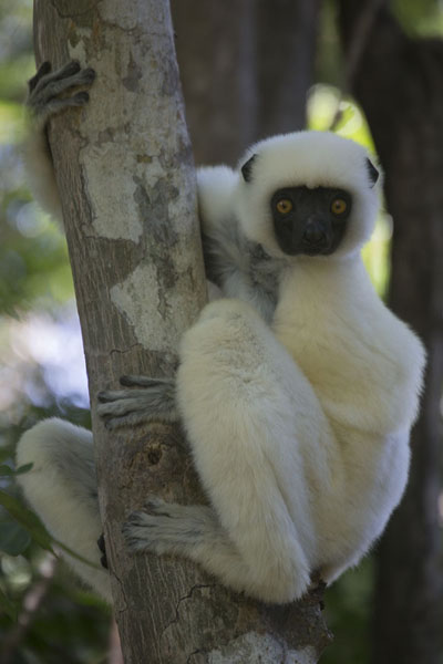 Foto van Decken's sifaka clinging to a tree in the Great Tsingy forest - Madagaskar - Afrika