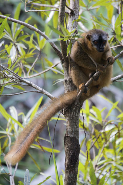 Redfronted lemur in a tree at Namaza camp in Isalo National Park | Lemurs | Madagaskar